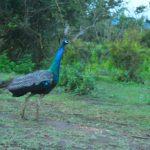 Our National Bird- Peacock