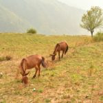 Mule grazing at Nag Tibba