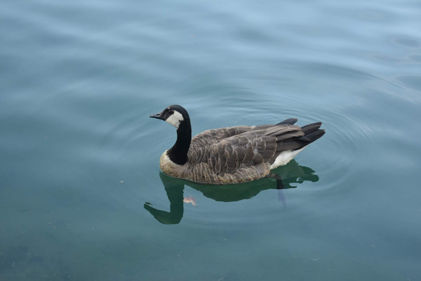 Adorable duck on the water